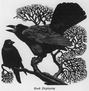 corvidos